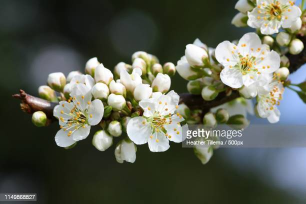 spring blossoms - apple blossom stock pictures, royalty-free photos & images
