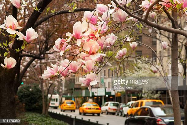spring blossoms - パークアベニュー ストックフォトと画像