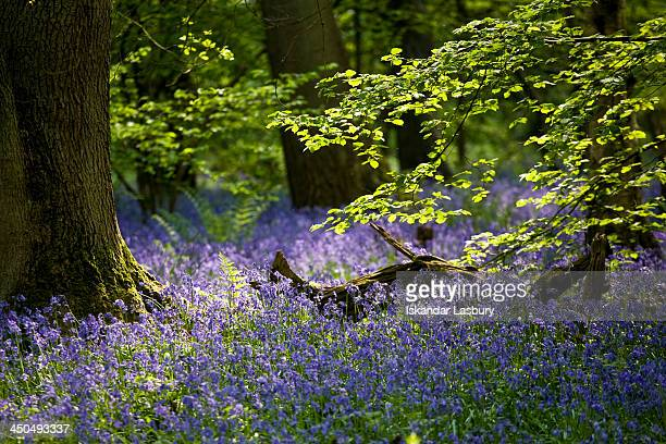 CONTENT] Spring Bluebell carpet in Banstead Woods near Chipstead Surrey UK