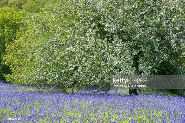 spring bluebells beneath a flowering crab apple tree - crab apple tree stock pictures, royalty-free photos & images