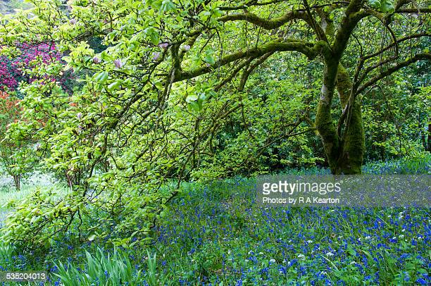 Spring Bluebells beneath Magnolia tree