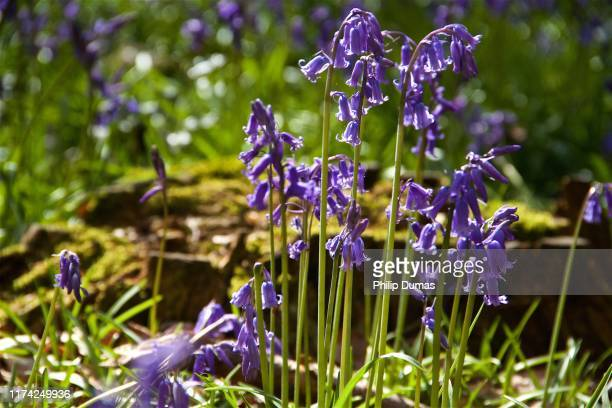spring bluebells (hyacinthoides non-scripts) - bluebell stock pictures, royalty-free photos & images