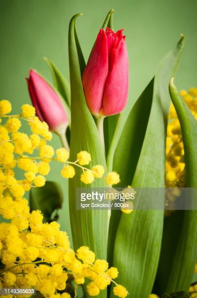 spring bouquet with mimosa and tulips - bouquet di mimose foto e immagini stock