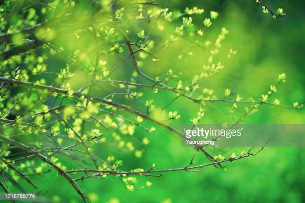 spring branch of a lime tree, - 四月 ストックフォトと画像
