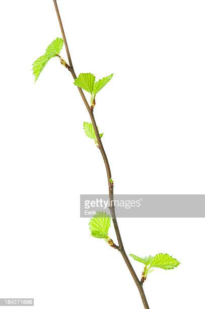 Spring branch with young leaves