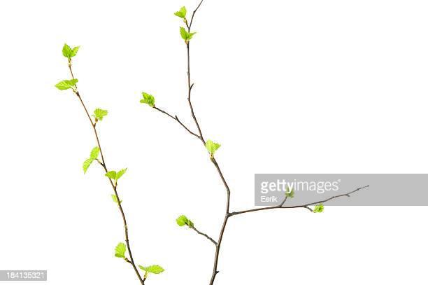 Ramos de primavera com folhas jovens