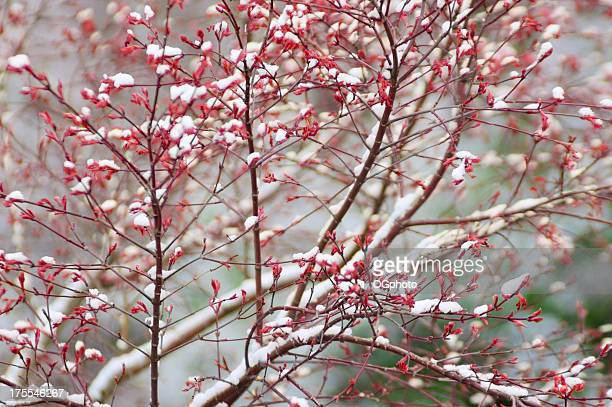 spring budding tree covered by snow - ogphoto stock pictures, royalty-free photos & images