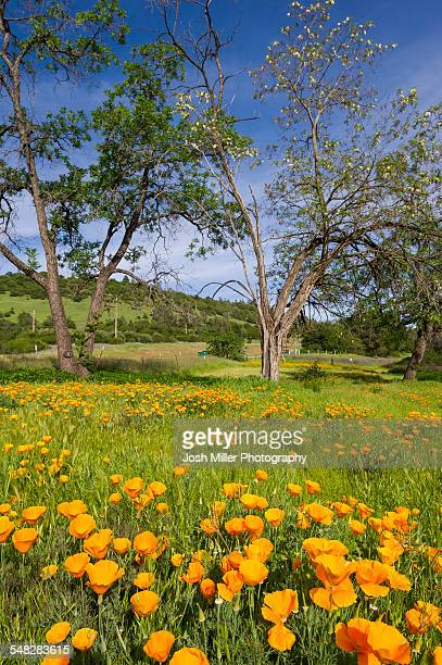 Spring California Poppies and Oak trees in the Sierra foothills