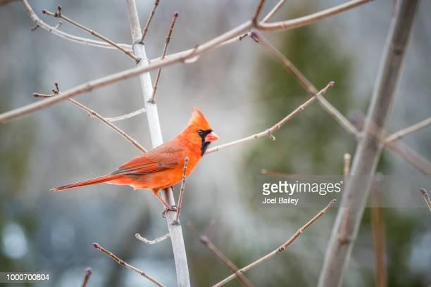 spring cardinal - cardinal stock photos and pictures