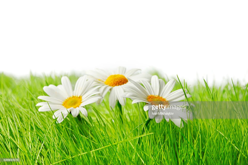Spring chamomiles : Stock Photo