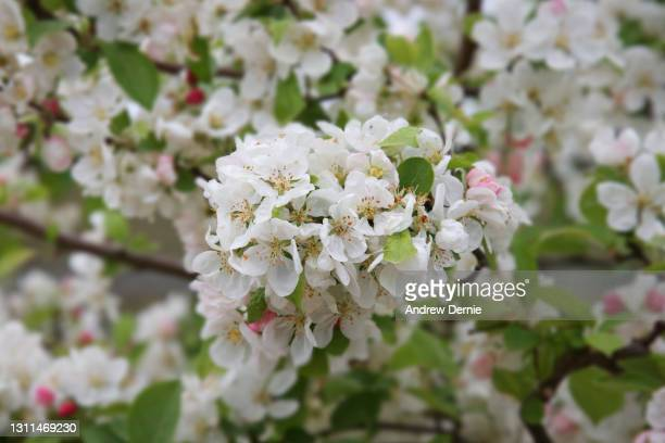 spring cherry blossom - andrew dernie stock pictures, royalty-free photos & images