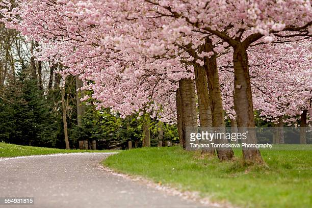 Spring cherry blossom trees