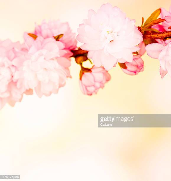 Spring Cherry Blossom with Copy Space