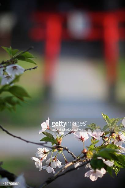 spring cherry blossoms in japan - 八幡平市 ストックフォトと画像