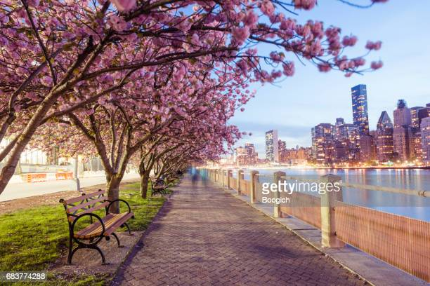 nyc spring cherry blossoms on roosevelt island manhattan view dusk - spring flowing water stock pictures, royalty-free photos & images