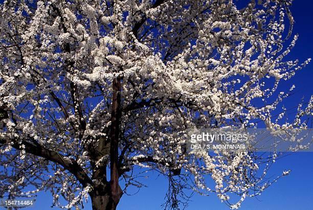Spring Cherry Rosaceae Detail