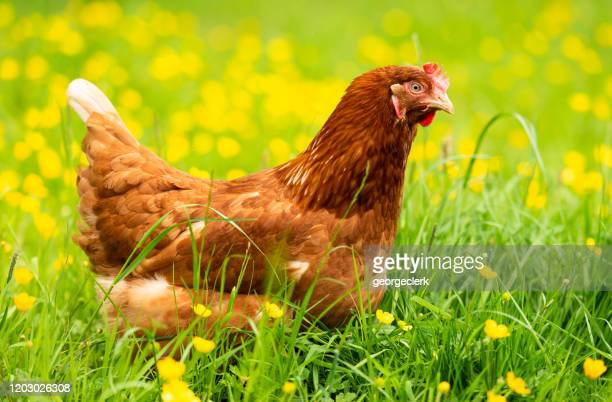 spring chicked - hen in grass and buttercups - buttercup stock pictures, royalty-free photos & images