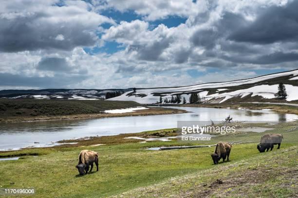 spring clouds snow bison grazing new grass river - oxen - fotografias e filmes do acervo