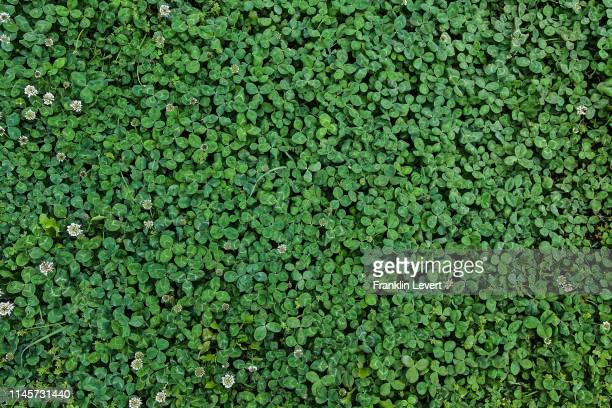spring clovers - クローバー ストックフォトと画像