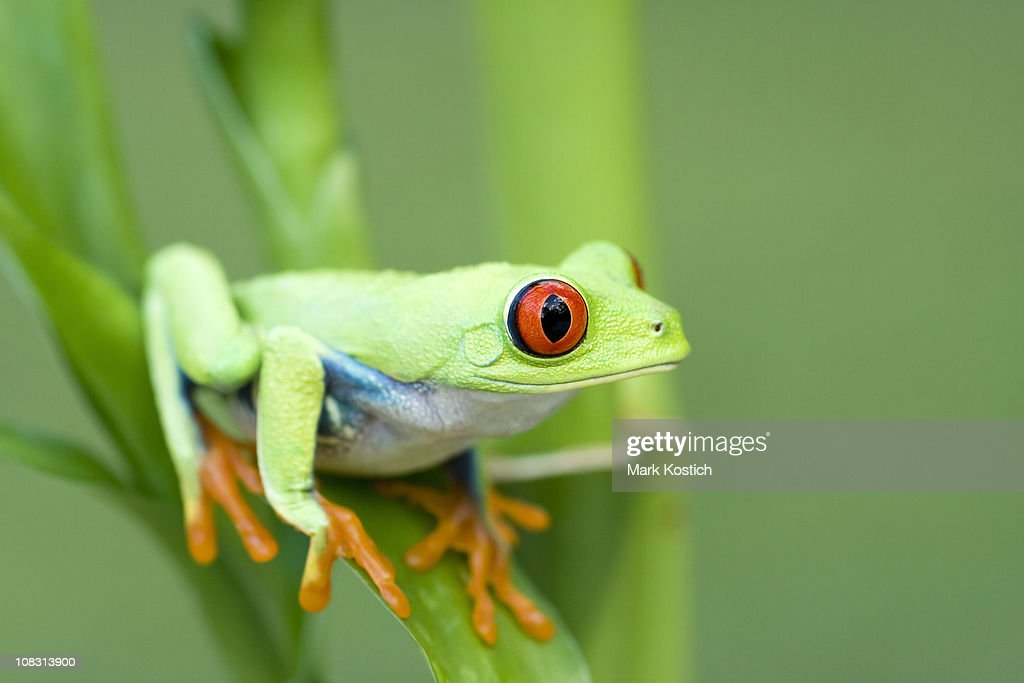 Spring Color  Red-eyed Tree Frog : Stock Photo