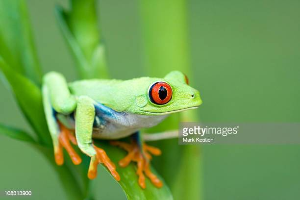 Spring Color  Red-eyed Tree Frog