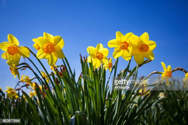spring colors - daffodils stock photos and pictures
