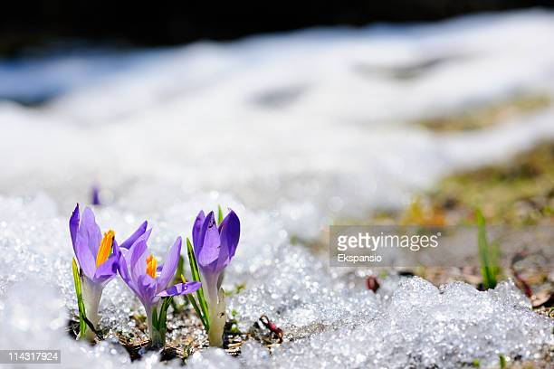 spring crocus flowers blooming on snow - endurance stock pictures, royalty-free photos & images