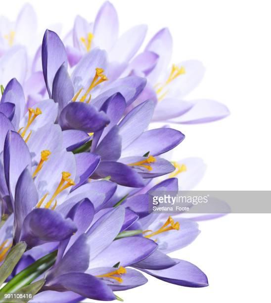 spring crocus flowers - svetlana stock photos and pictures