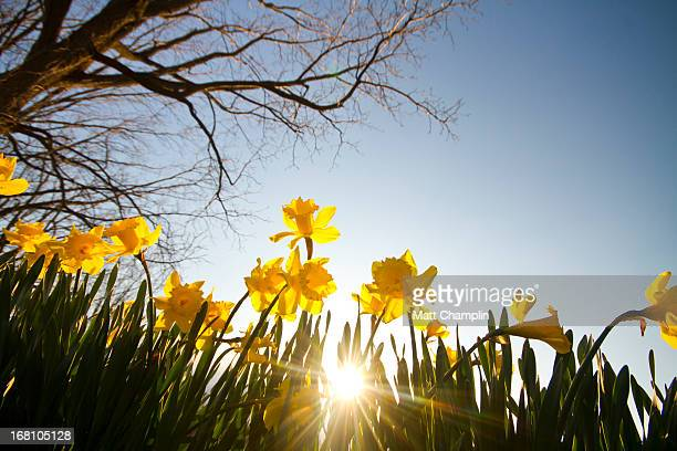 Spring Daffodils and Sunset Under a Tree