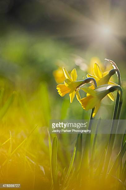 spring daffodils in the sunshine - daffodils stock photos and pictures