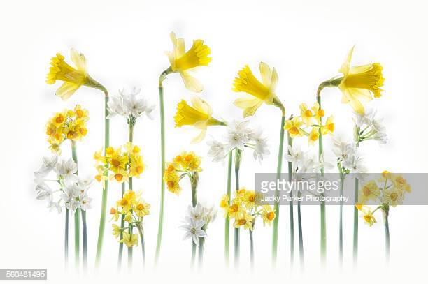 spring daffodils - narcissus mythological character stock photos and pictures