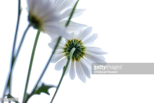 spring daisies - marguerite daisy stock photos and pictures