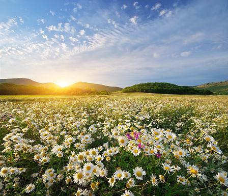 Spring daisy flowers 915614956
