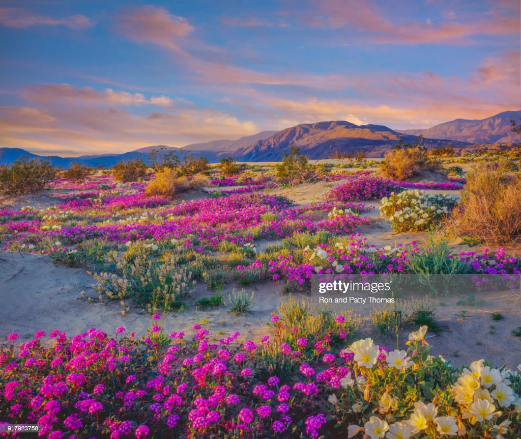 Spring desert wildflowers in Anza Borrego Desert State Park, CA : Stock Photo