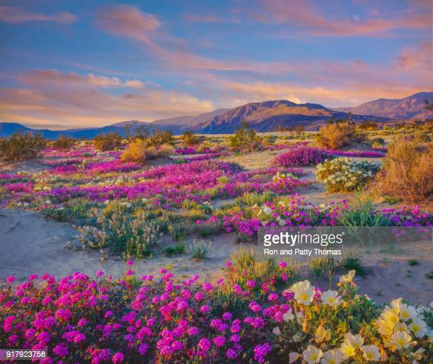 spring desert wildflowers in anza borrego desert state park, ca - california stock pictures, royalty-free photos & images