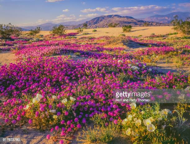 spring desert wildflowers in anza borrego desert state park, ca - anza borrego desert state park stock pictures, royalty-free photos & images