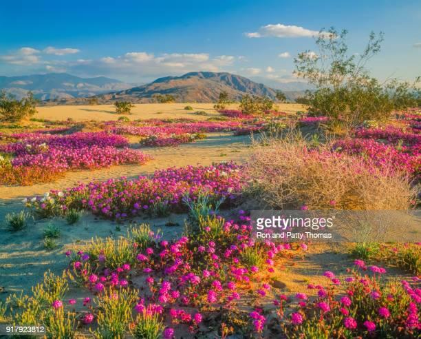 アンザ ボレゴ砂漠州立公園、カリフォルニア州の砂漠の野生の花を春します。 - 南西 ストックフォトと画像