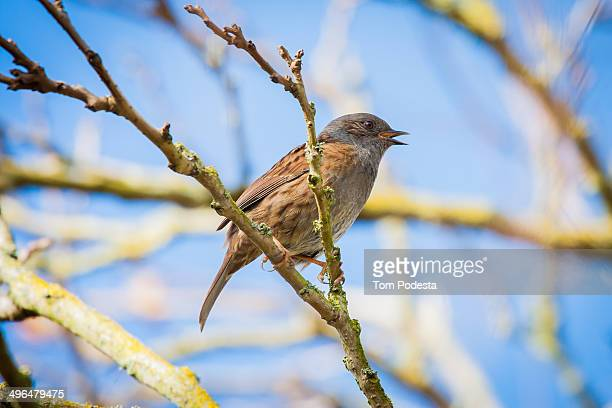 spring dunnock - dunnock stock pictures, royalty-free photos & images