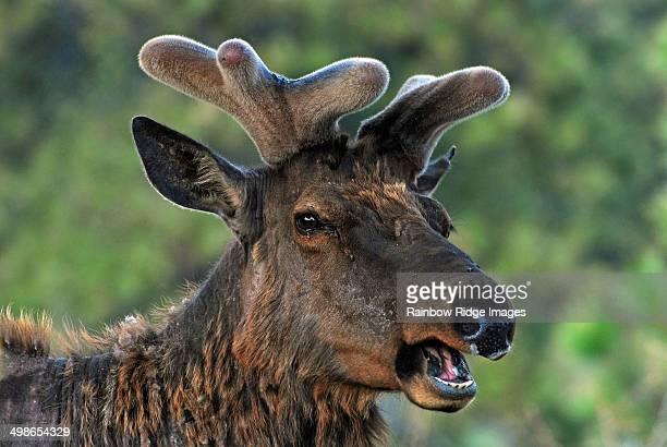 Spring Elk