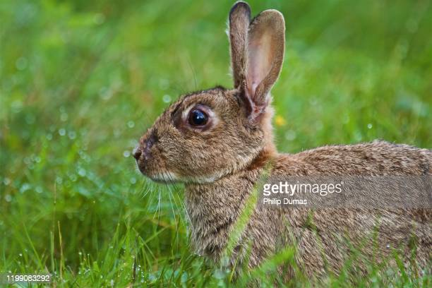 spring european rabbit (oryctolagus cuniculus) - animal stock pictures, royalty-free photos & images