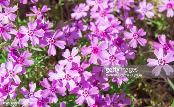 spring flower background, phlox-flox subulata, bright pink small flowers. colorful spring carpet - grounds stock pictures, royalty-free photos & images