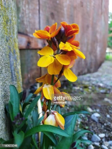 spring flower in garden. - mazzi fiori di campo foto e immagini stock