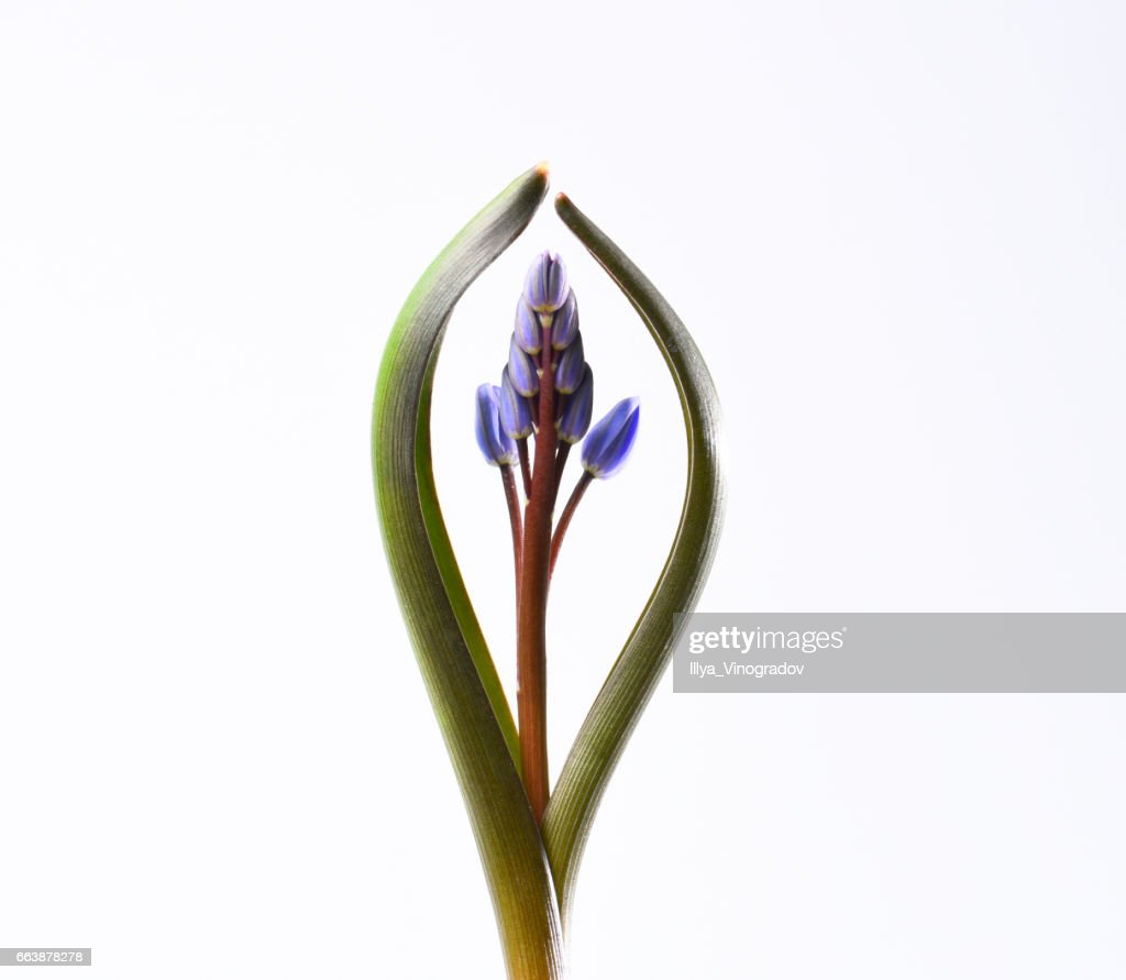 Spring Flower On A White Background Violet Buds Stock Photo Getty