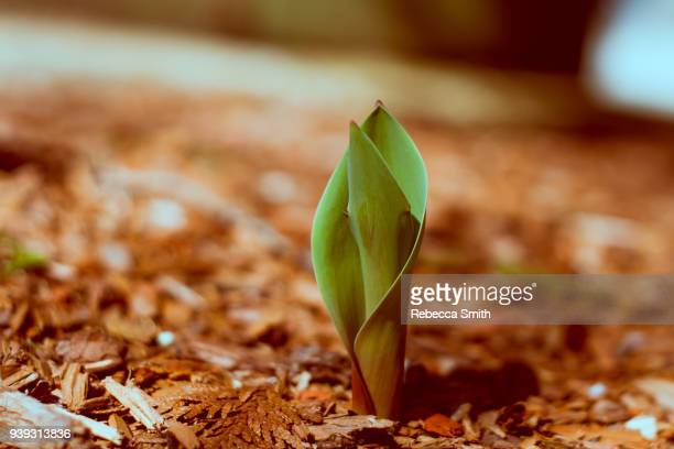 spring flower - mulch stock pictures, royalty-free photos & images