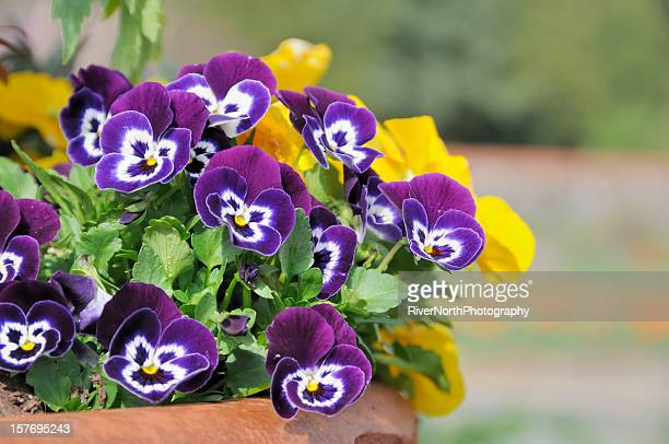 spring flower pot - pansy stock pictures, royalty-free photos & images