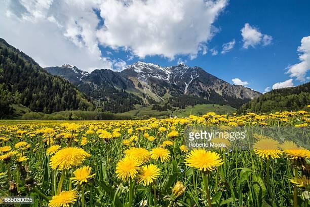 Spring flowering and green meadows Casaccia Bregaglia Valley Canton of Graub? nden Engadine Switzerland Europe