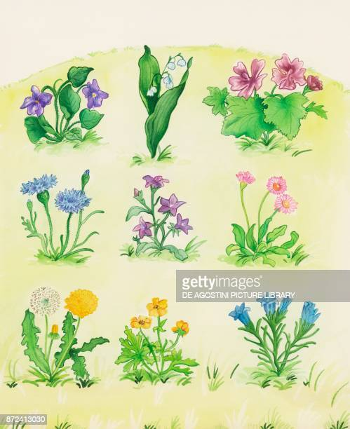 pansy lily of the valley common mallow cornflower bellflower daisy dandelion buttercup gentian children's illustration drawing