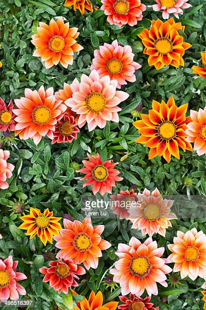 spring flowers, gazania splendens - leren stock pictures, royalty-free photos & images