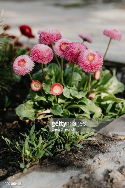 spring flowers grow in the garden. home life. home care. gardening. - watering stock pictures, royalty-free photos & images