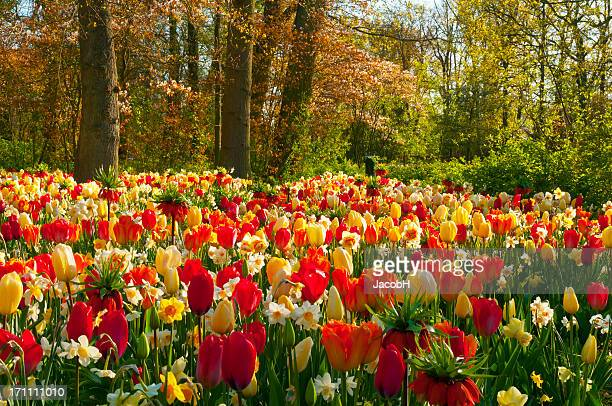 spring flowers in a park - narcissus mythological character stock photos and pictures